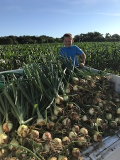 candy onion harvest