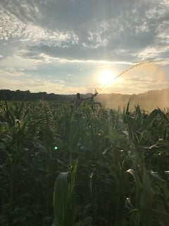 irrigating sweet corn
